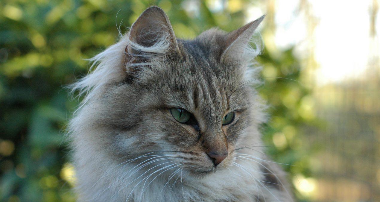 La saillie chez le chat norvégien
