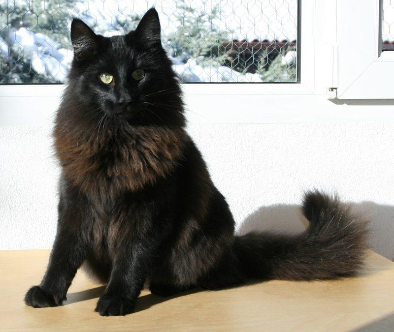 La couleur noire chez les chats des forêts norvégiennes