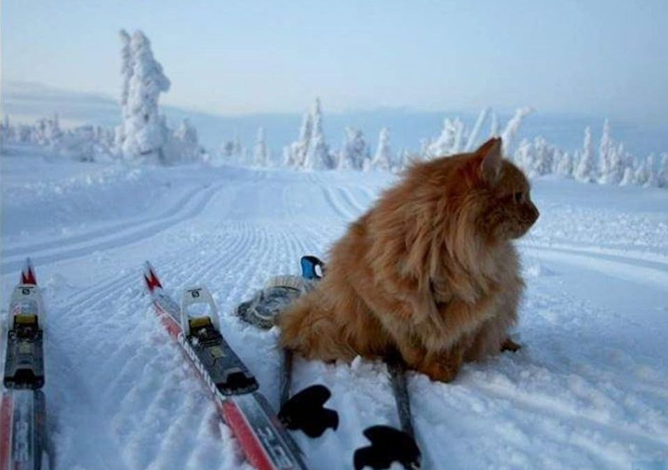 Jesper, le chat norvégien qui se prend pour un chien de traîneau