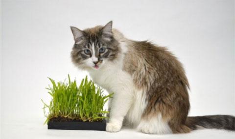 Herbe à chat pour chat norvégien