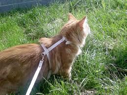 Un chat norvégien en laisse