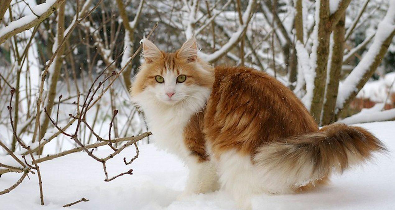 La fourrure du chat Norvégien