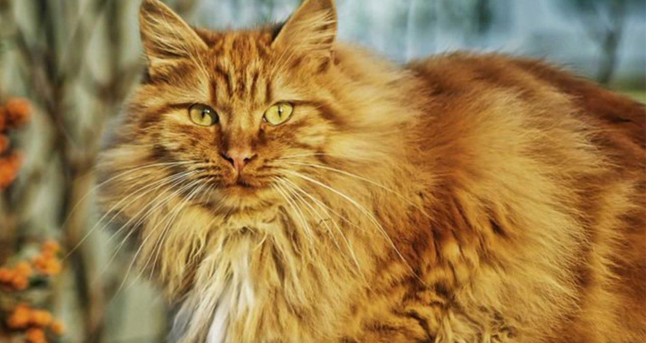 Le chat Norvégien roux