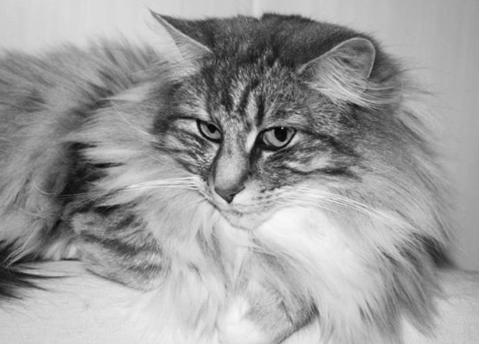 le chat ronronne par bien être mais pas seulement
