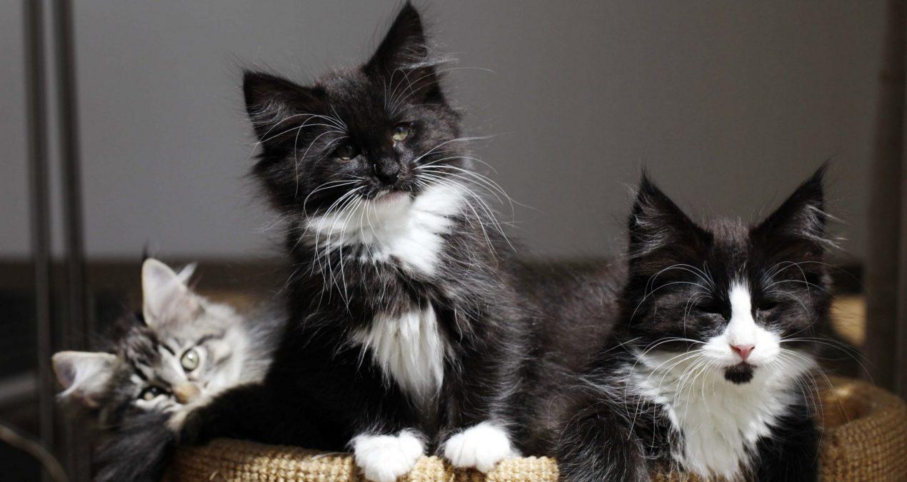 Accueillir un chaton des forêts norvégiennes ?