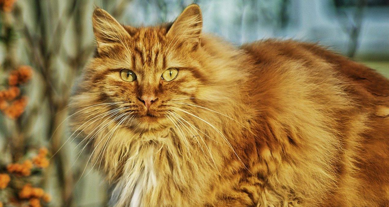 Comment bien prendre soin de la fourrure de son chat Norvégien ?